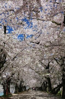 弘前桜のトンネル