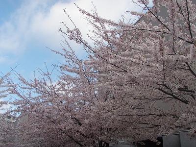 2011札幌市産業振興センターの満開の桜