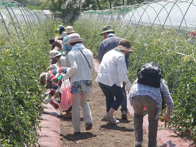 渡辺農場2011トマト収穫体験