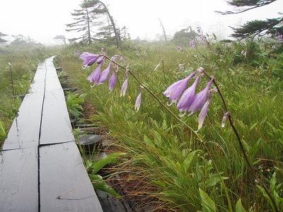 松山湿原 タチギボウシ