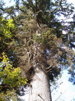 ビッキの木~下からアップ