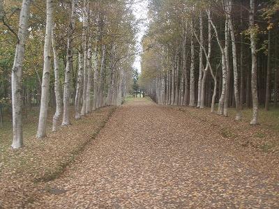中川北大実験林ポプラ並木
