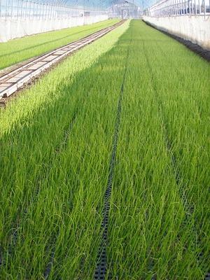 玉葱の苗床