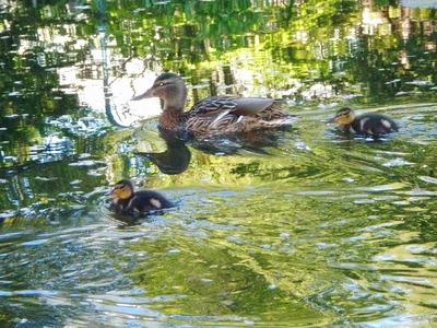 赤れんが前池、鴨の親子