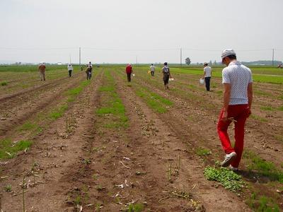 広いアスパラ畑で収穫!