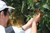 三笠トマト収穫