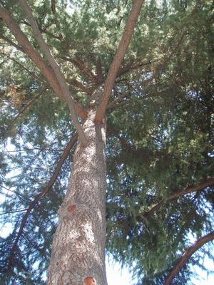ヒマラヤ杉木陰