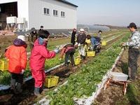 大塚ふぁーむ鍋野菜収穫1
