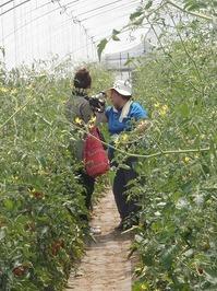 2011畑でBBQレストランミニトマト収穫体験2