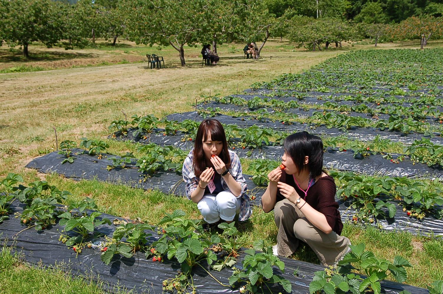 八剣山果樹園,定山渓,イチゴ狩り
