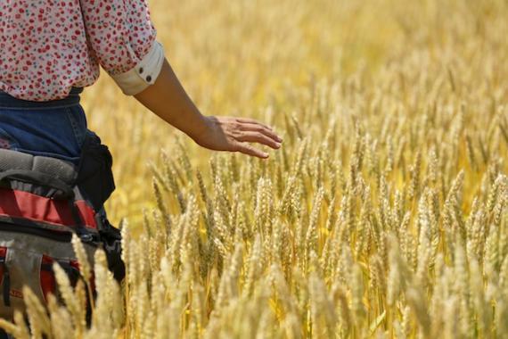 いただきますカンパニー,小麦,畑でピクニック