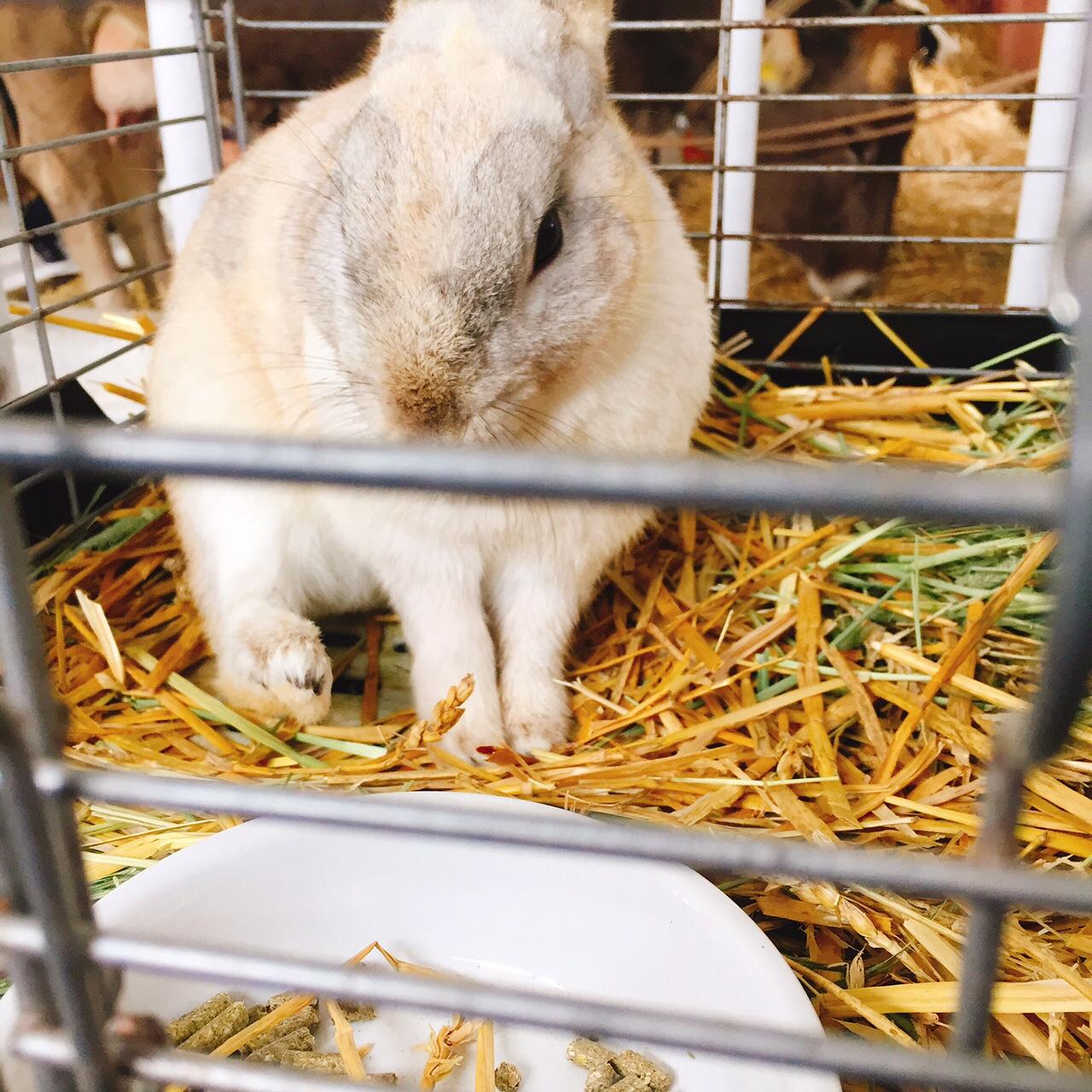 ハイジ牧場のウサギ