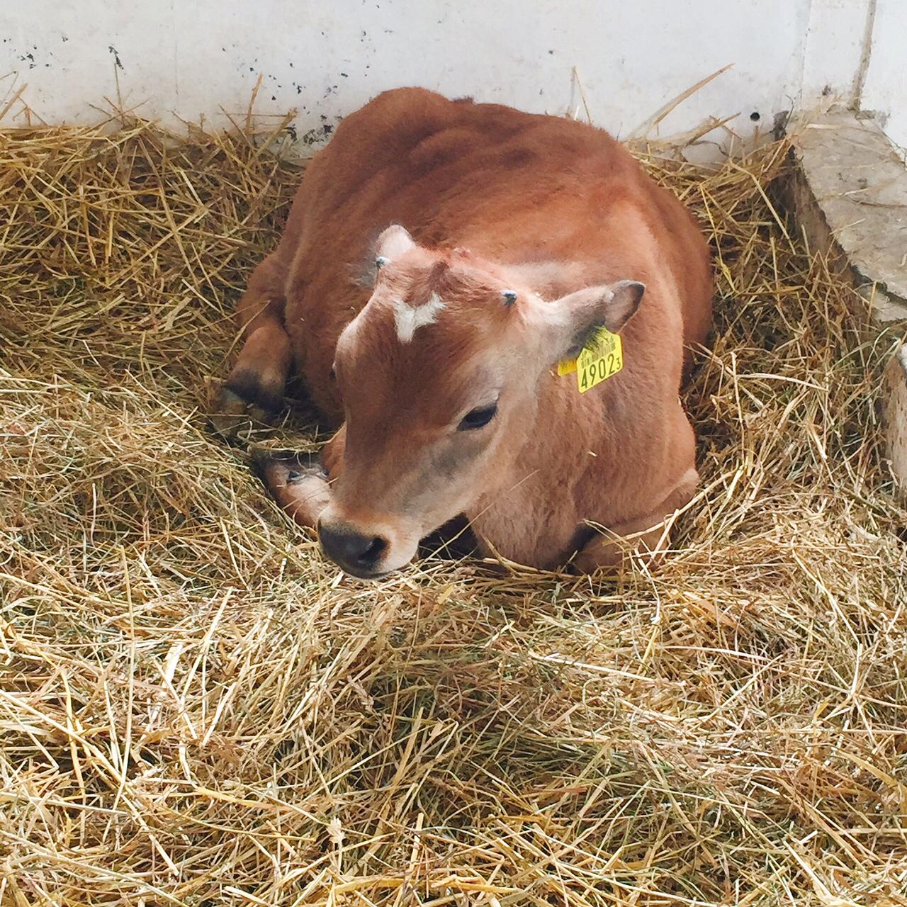 ハイジ牧場の子牛