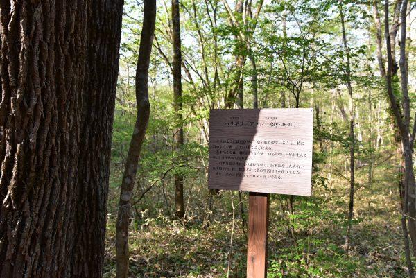 ハリギリ、アユシニの木